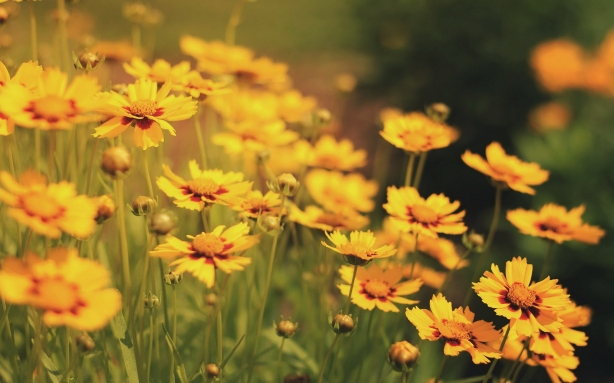 yellow-flowers-field